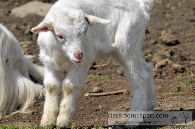 baby-goat-at-farm-photo-62.jpg