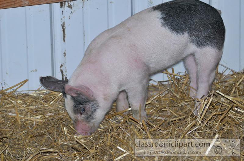 baby-pigs-at-farm-25.jpg