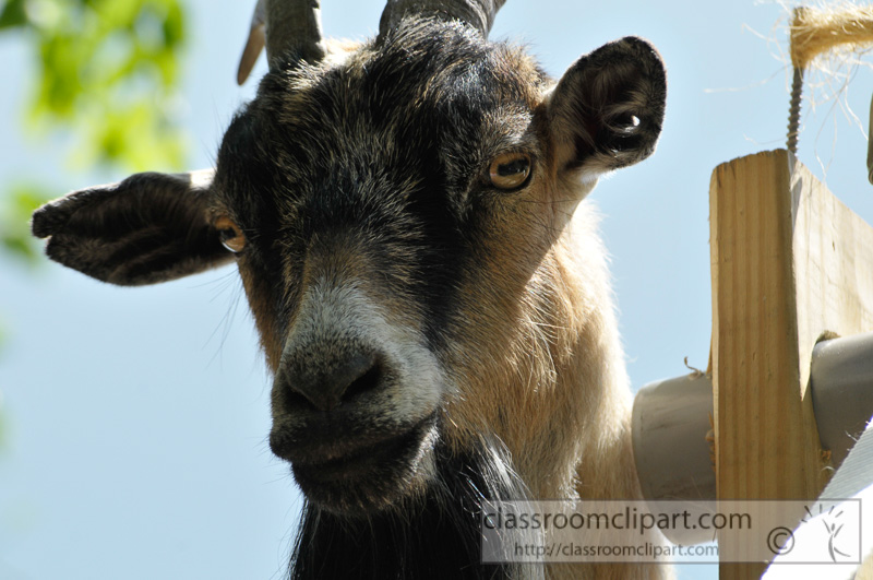 closeup-of-billy-goat-photo-76.jpg