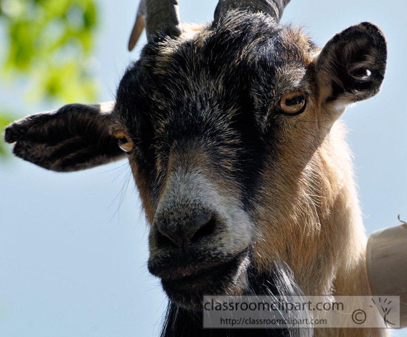 closeup-of-billy-goat-photo-77.jpg