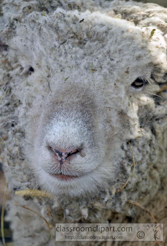 closeup-sheep-face-photo-70.jpg