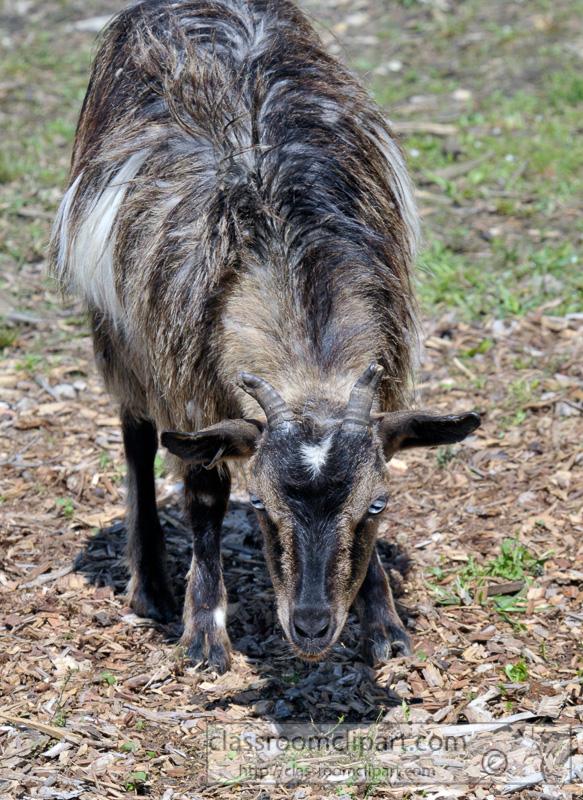 goat-at-farm-photo-45.jpg