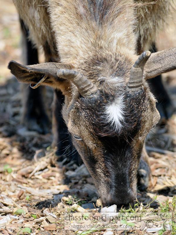 goat-at-farm-photo-46.jpg