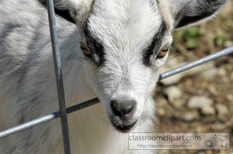 goat-behind-metal-fence-photo-34.jpg