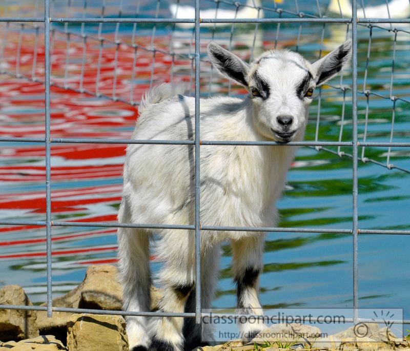 goat-behind-metal-fence-photo-36.jpg