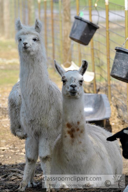 llamas-at-farm-photo-52.jpg