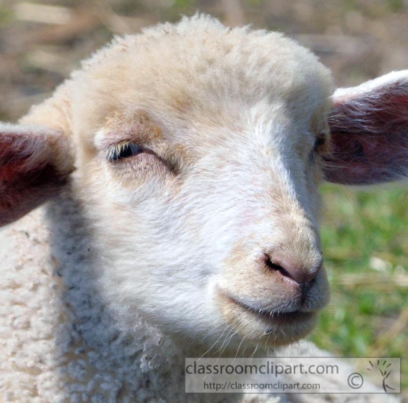 sheep-closeup-face-photo-64.jpg