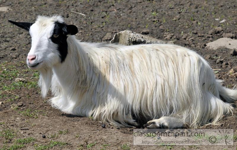 white-goat-at-farm-photo-58.jpg