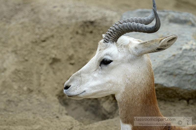 gazelle-1296A.jpg