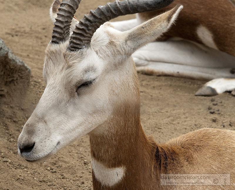 gazelle-2500A.jpg