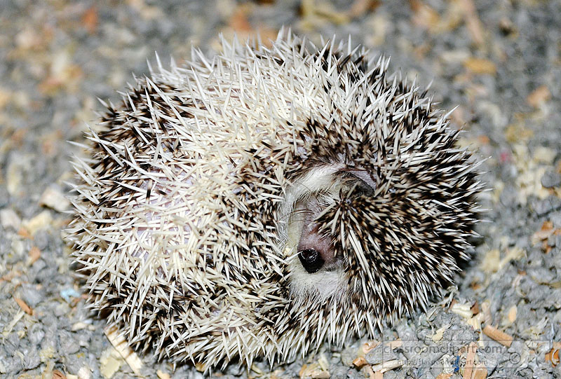 hedgehog-picture-image2210A.jpg
