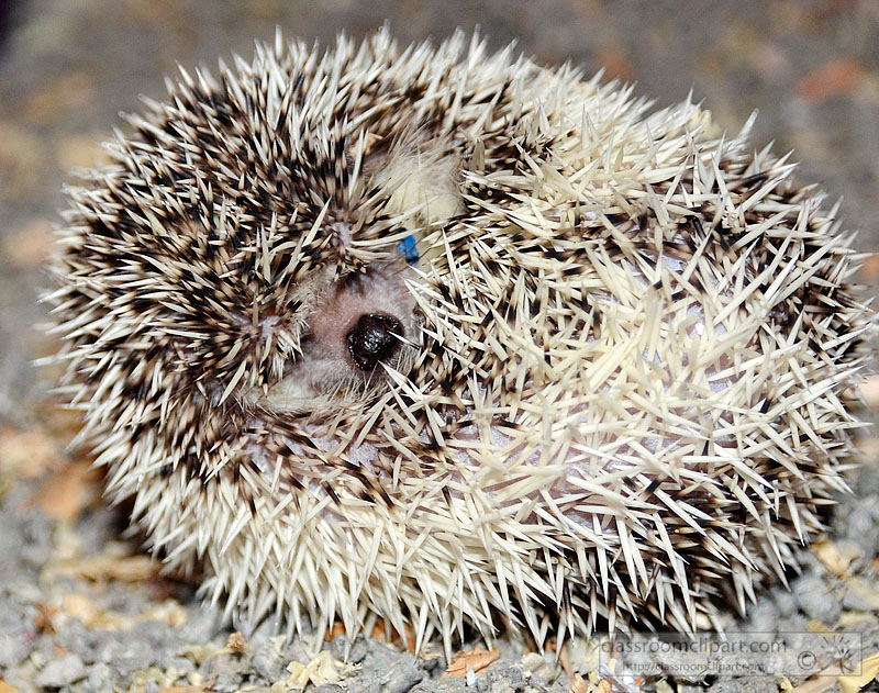 hedgehog-picture-image2221A.jpg