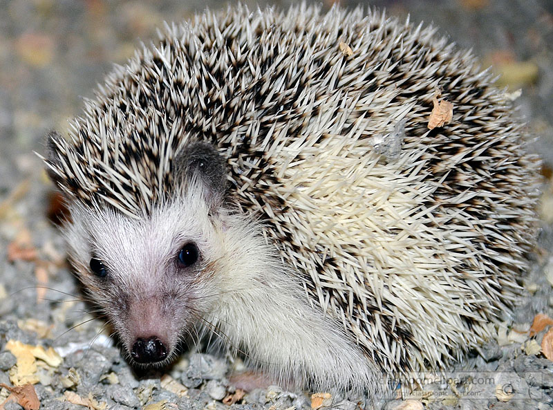 hedgehog-picture-image2226A.jpg