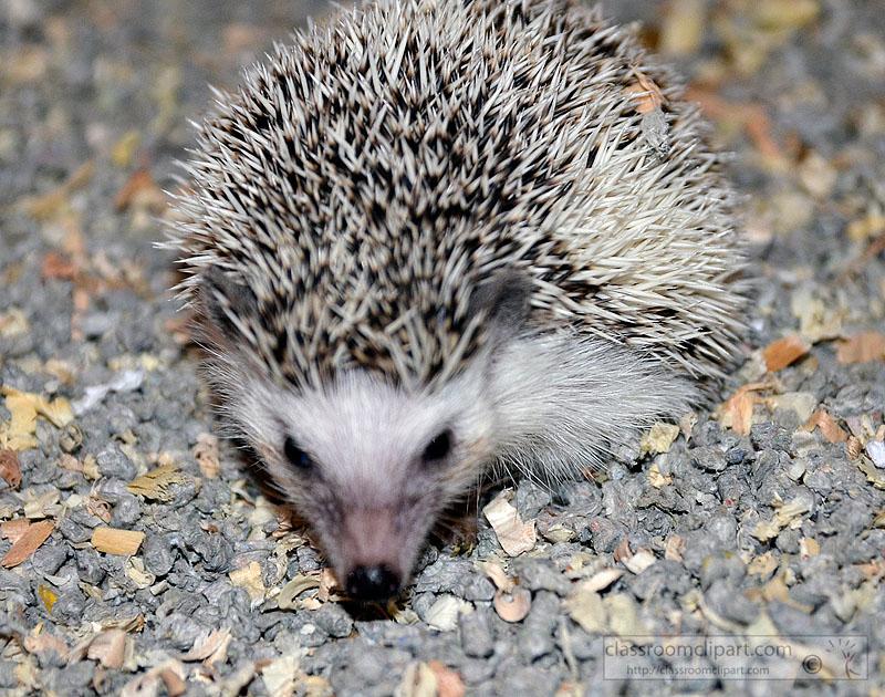 hedgehog-picture-image2227A.jpg