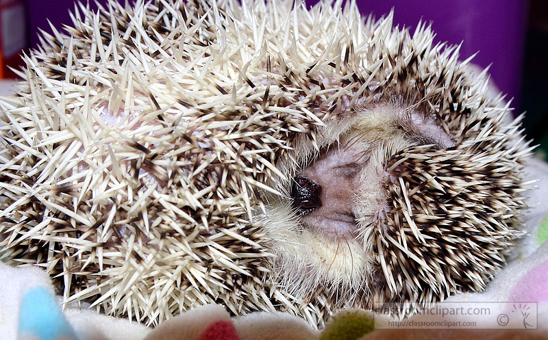 hedgehog-picture-image2234A.jpg