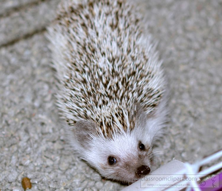 hedgehog-picture_36A.jpg