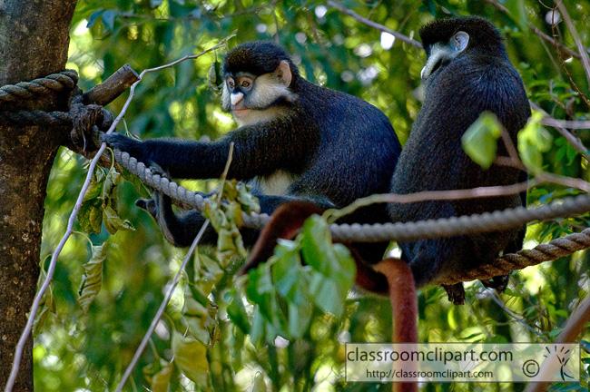 gibbon_311A.jpg