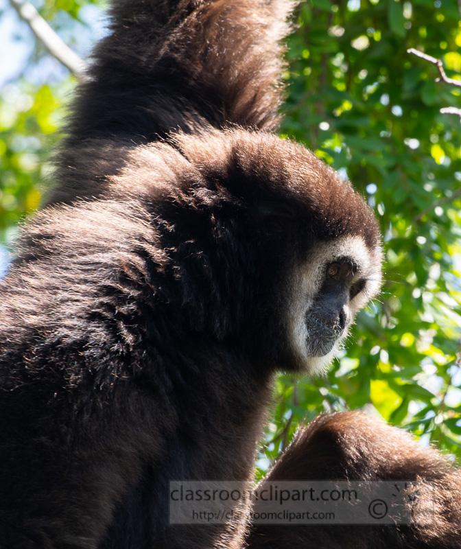 hylobates-lar-white-handed-gibbon-photo-5188A.jpg