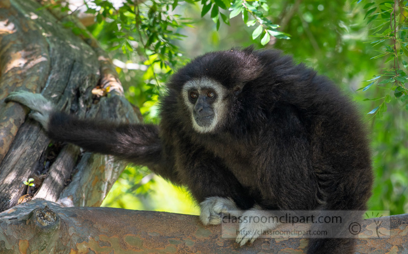 hylobates-lar-white-handed-gibbon-photo-5228.jpg