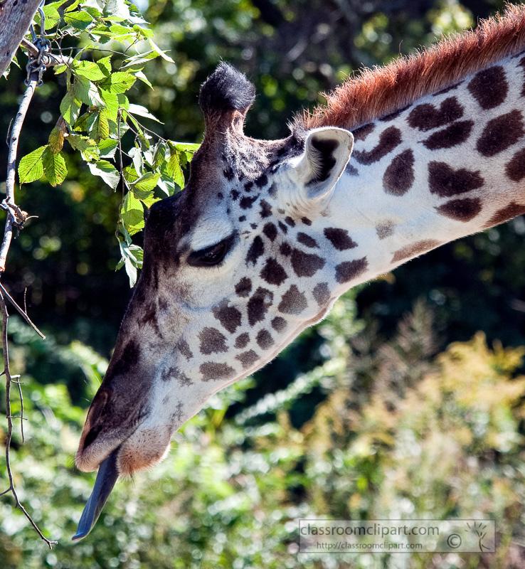 giraffe-at-zoo-nashville-photo_100812.jpg