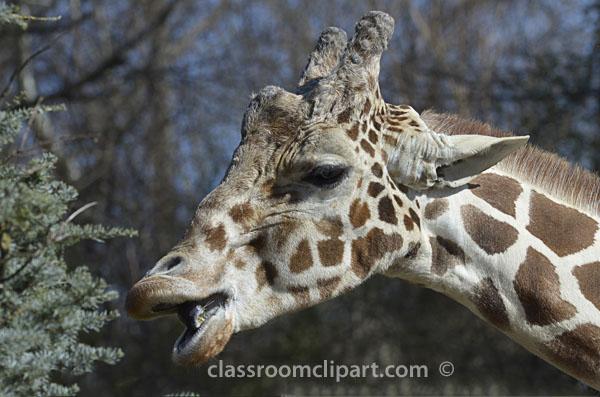 giraffe_mouth_open6503-2.jpg