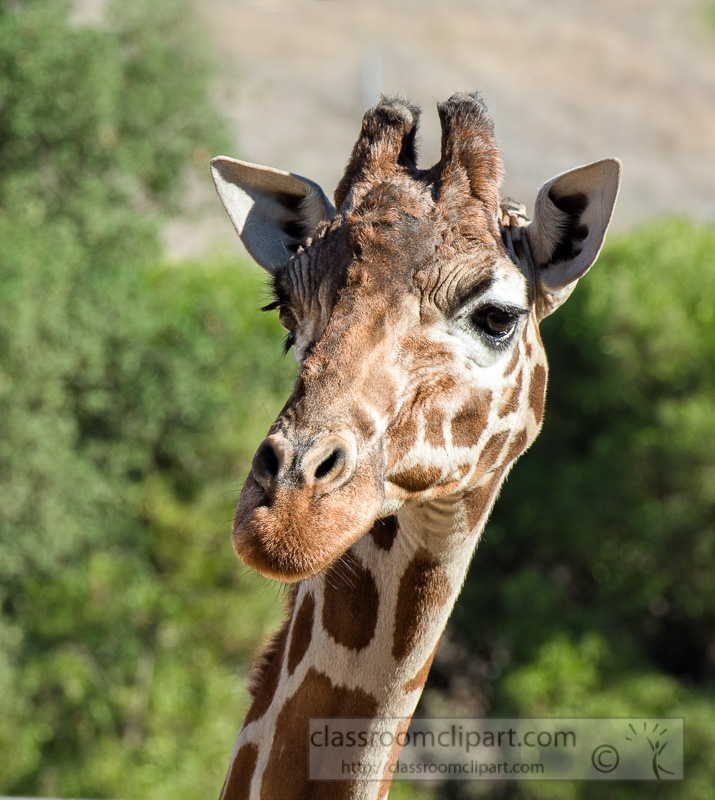 reticulated-giraffe-photo-8681EE2.jpg