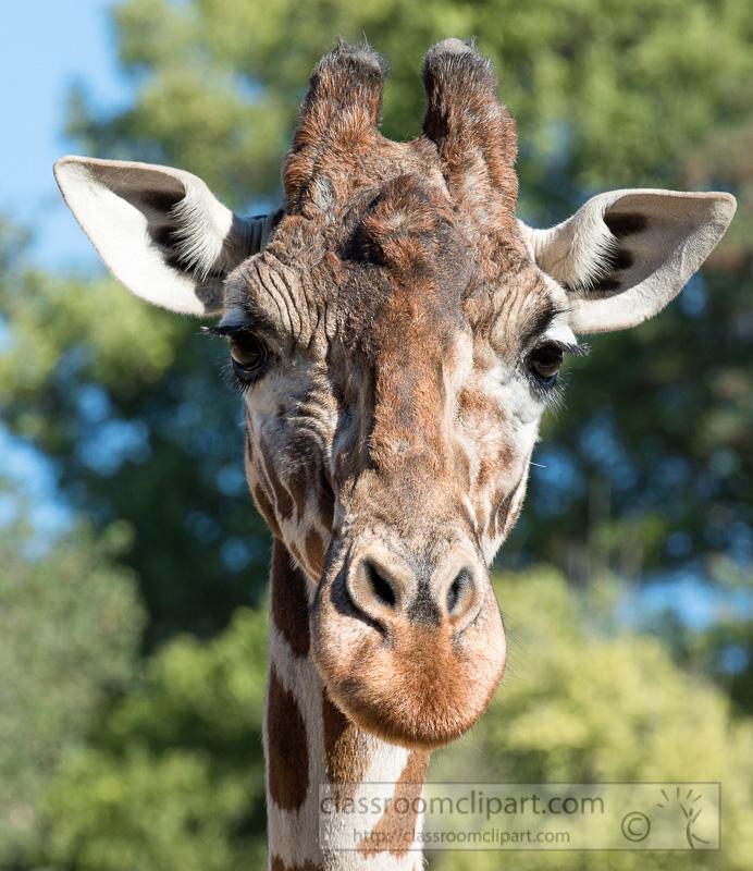 reticulated-giraffe-photo_8689E.jpg