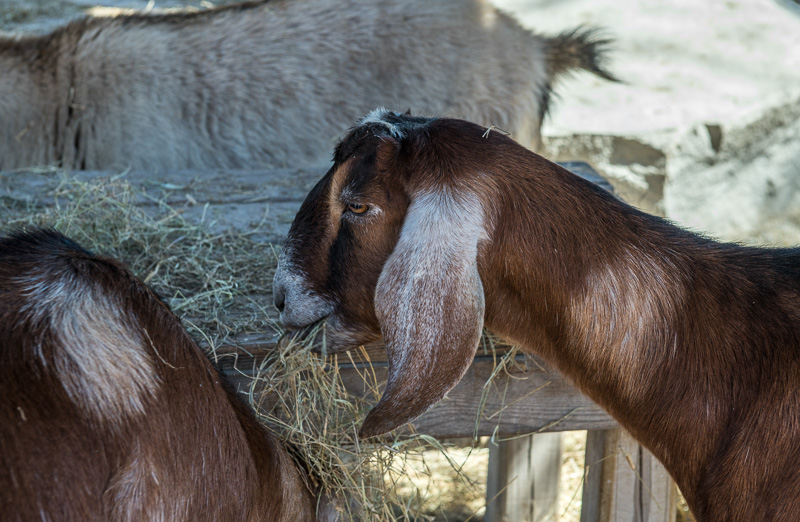 brown-goat-eating-hay-at-zoo-photo-3952.jpg