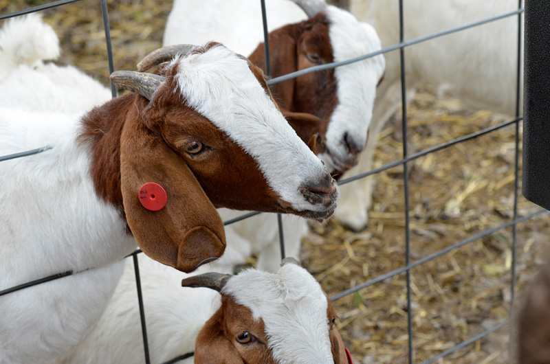 white-brown-boer-goat-head-out-of-fence-17A.jpg