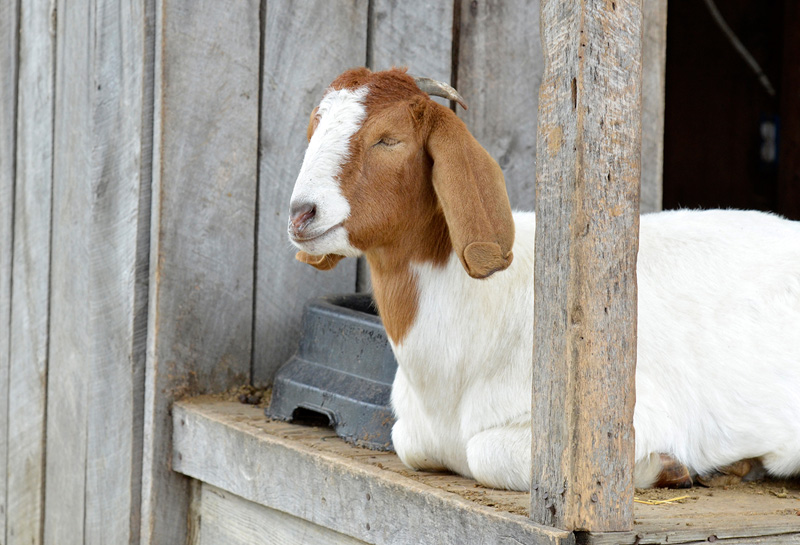 white-brown-boer-goat-sitting-16.jpg