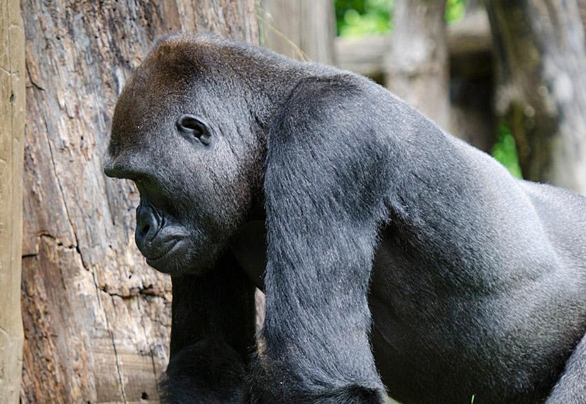 gorilla_side_view.jpg