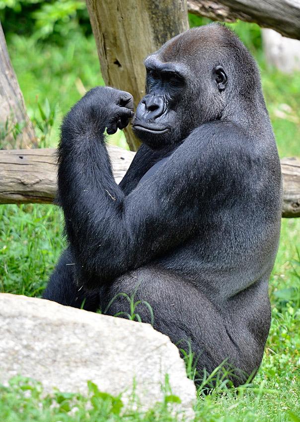 gorilla_sitting_near_rock.jpg