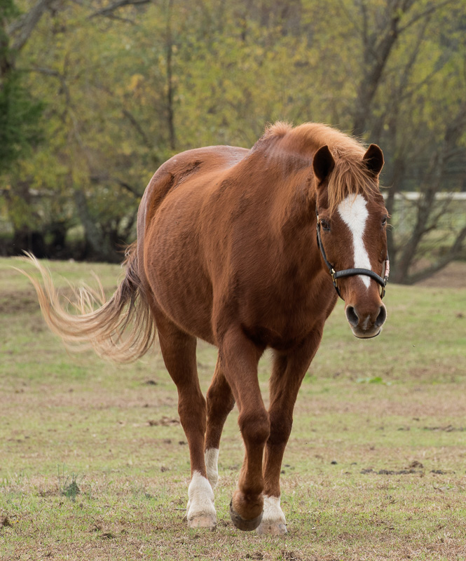 Horses Clipart- Horse-walking-Front-View-Photo-Image_8184 ...