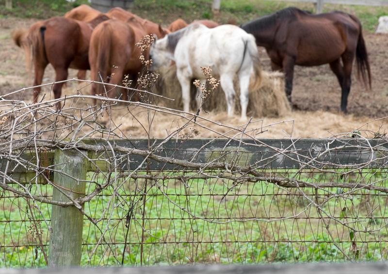 Horses-on-Ranch-EatingHay_8121.jpg