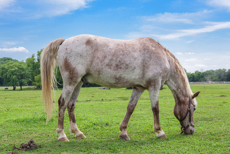 White-horse-grazing-near-stable-on-farm-409E.jpg