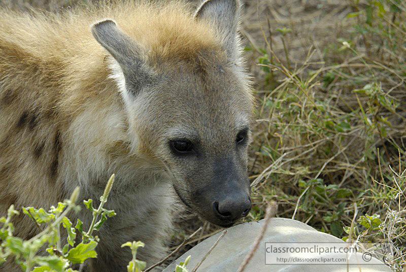 spotted-hyena-masi-mara-kenya-19.jpg