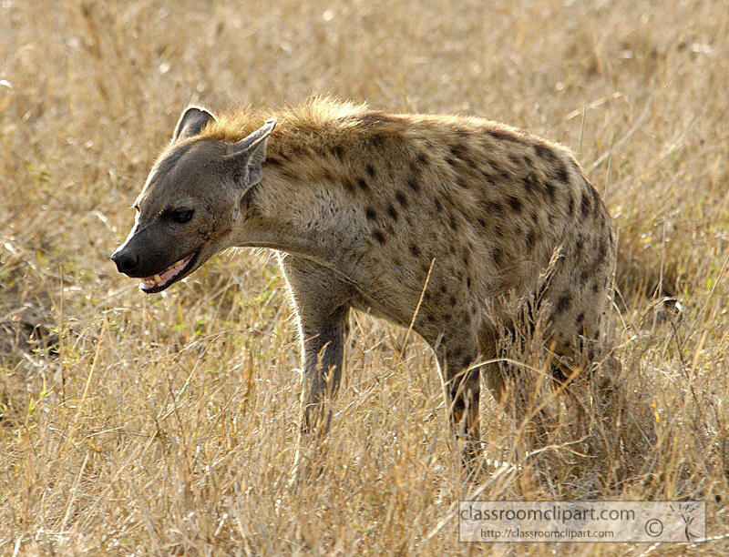 spotted-hyena-masi-mara-kenya-31.jpg