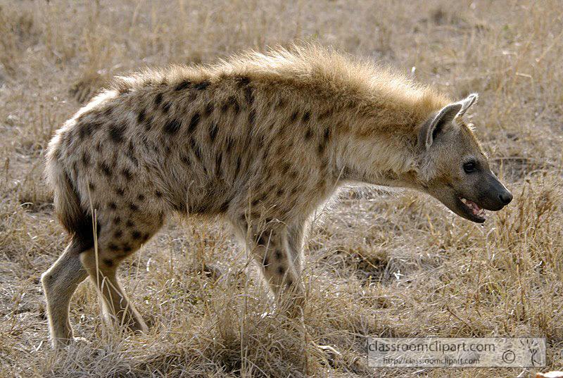 spotted-hyena-masi-mara-kenya-33.jpg
