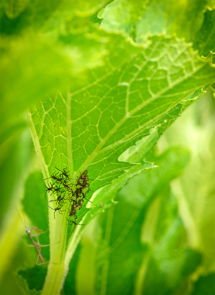 insects hatching from eggs with praying mantis lurking.jpg