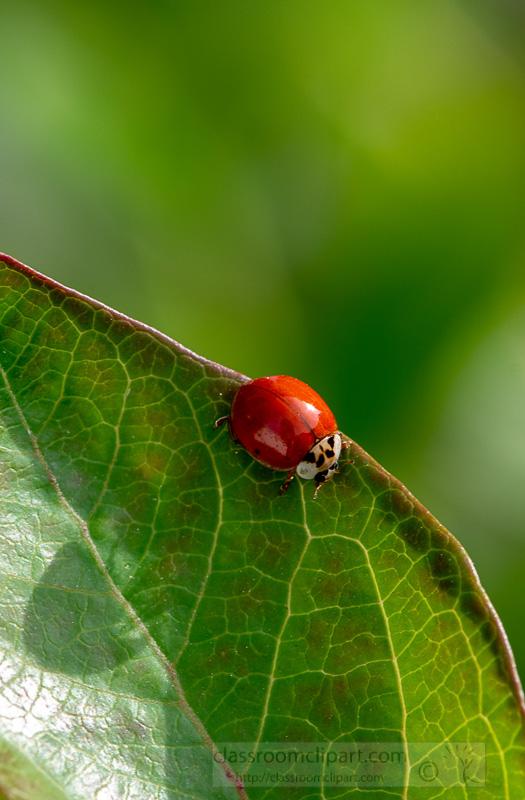 photo-of-small-beetle-red-ladybug-on-leaf-image-5561.jpg