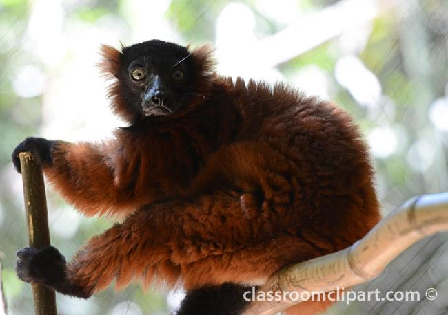 red_lemur_0583A.jpg