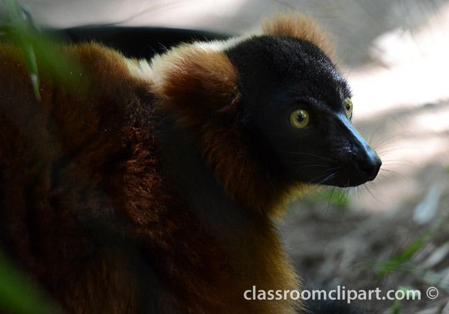 red_lemur_face_0606A.jpg