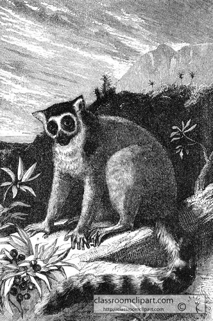 ring_tail_lemur.jpg
