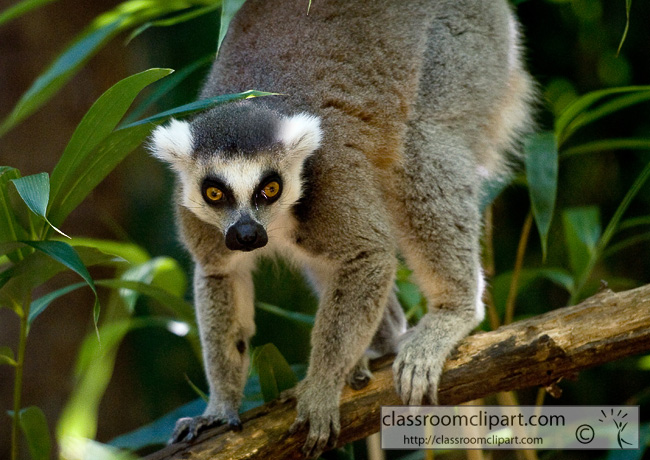 ring_tailed_lemur_329.jpg