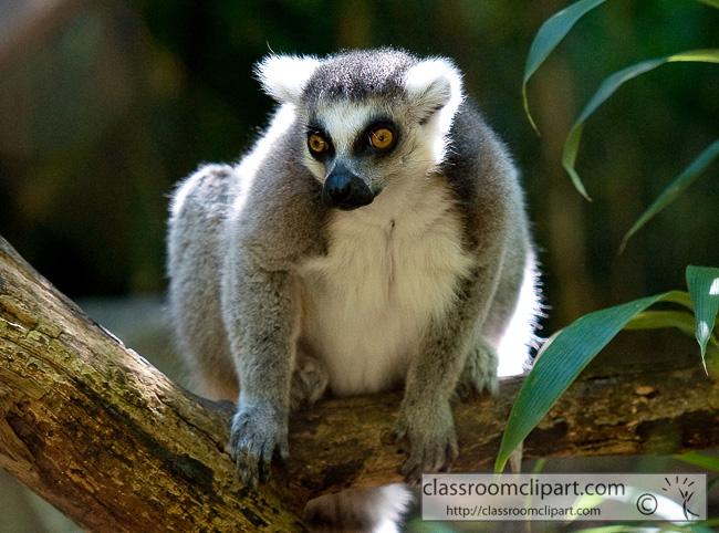 ring_tailed_lemur_337B.jpg