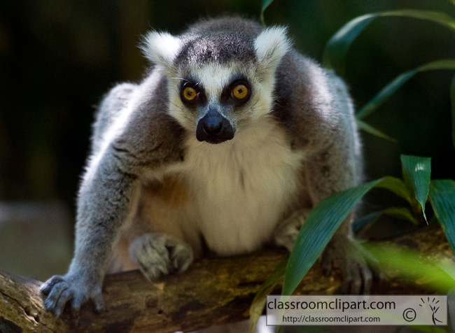 ring_tailed_lemur_342.jpg