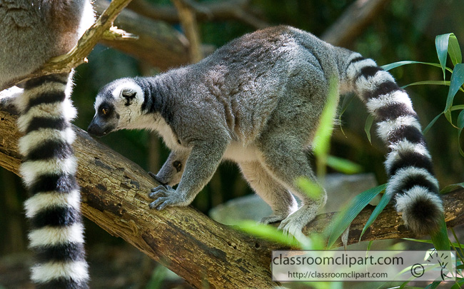 ring_tailed_lemur_355.jpg