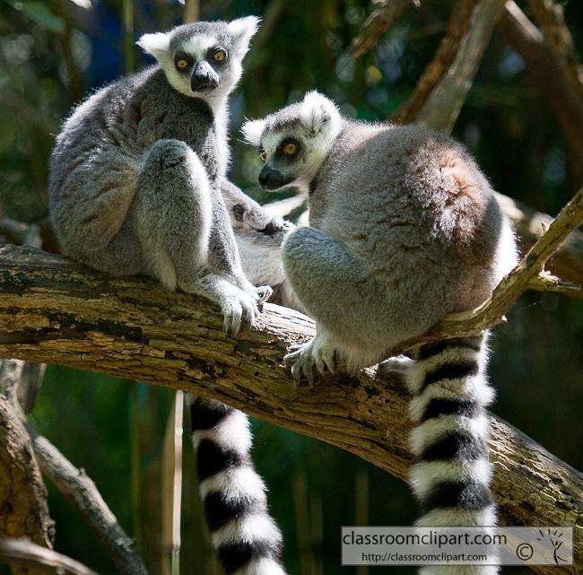 ring_tailed_lemur_368.jpg