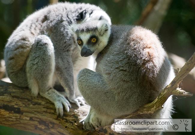 ring_tailed_lemur_384.jpg