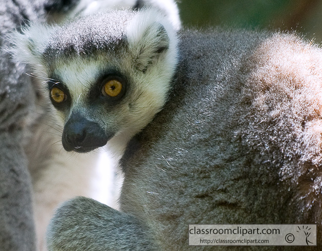 ring_tailed_lemur_384B.jpg